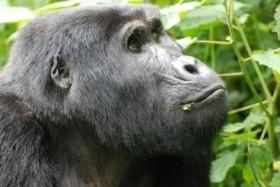 UGANDA KOMFORTNĚJI - Unikátní horské gorily