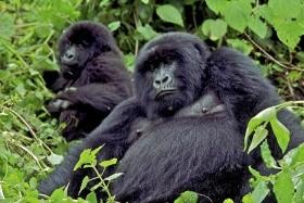 Keňa - Uganda - Velká migrace zvířat a horské gorily