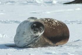 Antarktída - tučňiaci cisárski