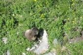 svišť na Grossglocneru