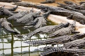 Krokodília farma