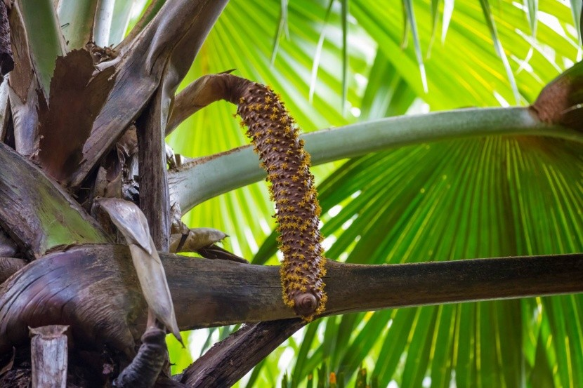 Plod samčej palmy