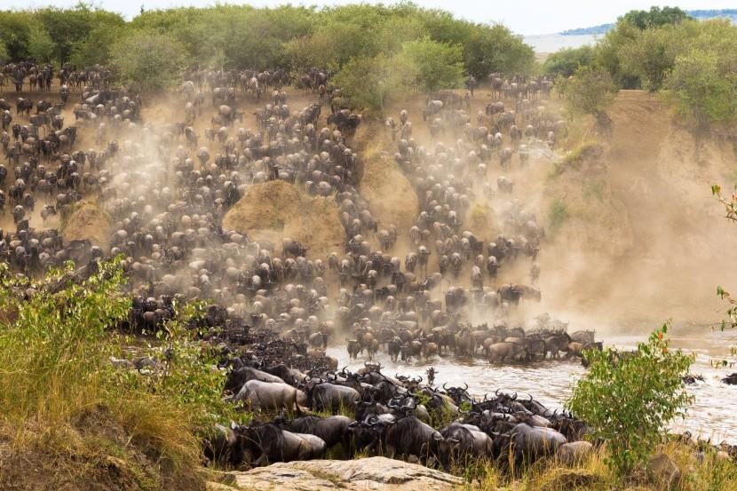 Stádo byvolov pri zdolávaní rieky Mara