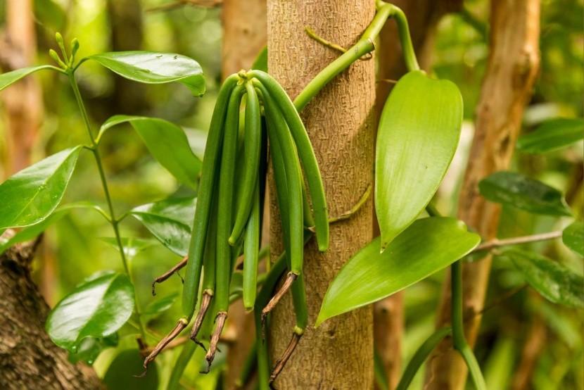 Vanilkové struky