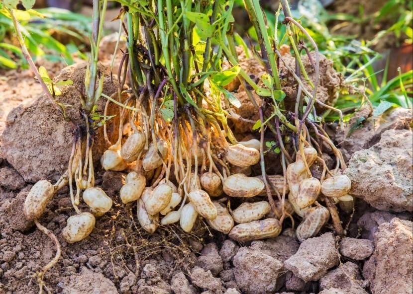 Podzemnica olejná - arašidy