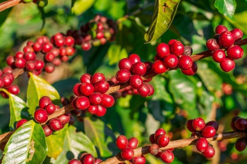 Plody kávovníka pripravené na zber