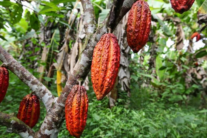 Plody kakaovníka