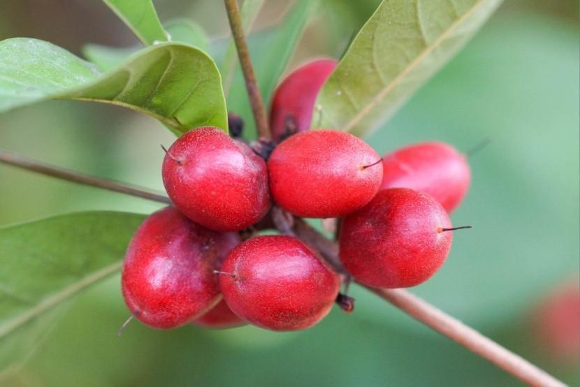 Miraclefruit