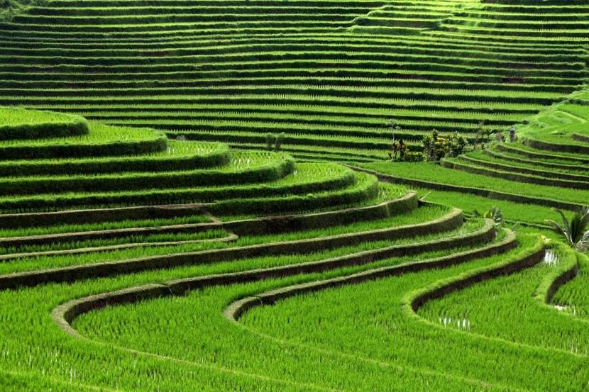 Ryžové polia na Bali