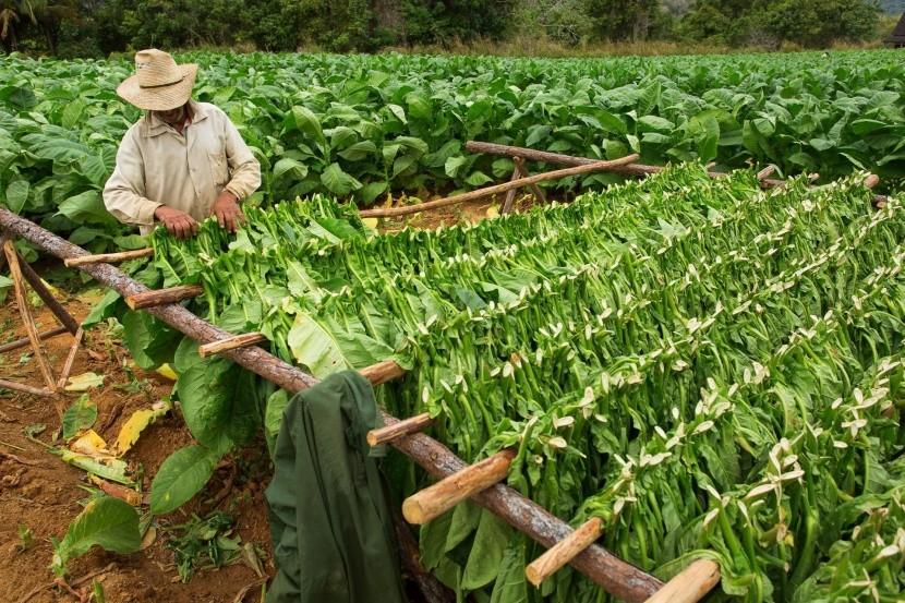 Zber tabakových listov