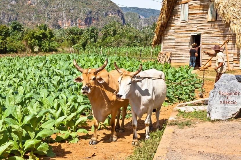 Poľnohospodárstvo v údolí Viñales