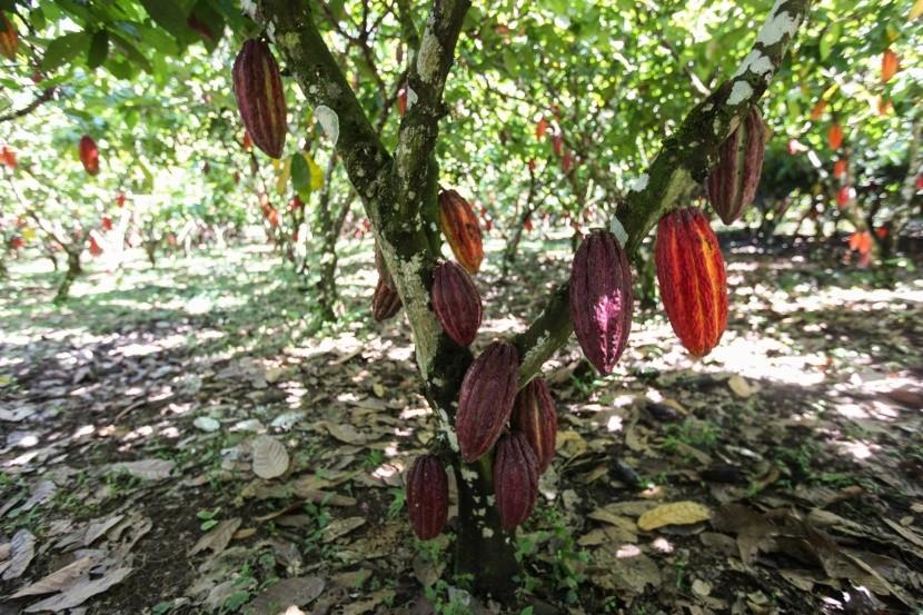 Kakaová plantáž