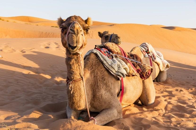 Ťavy v ománskej púšti