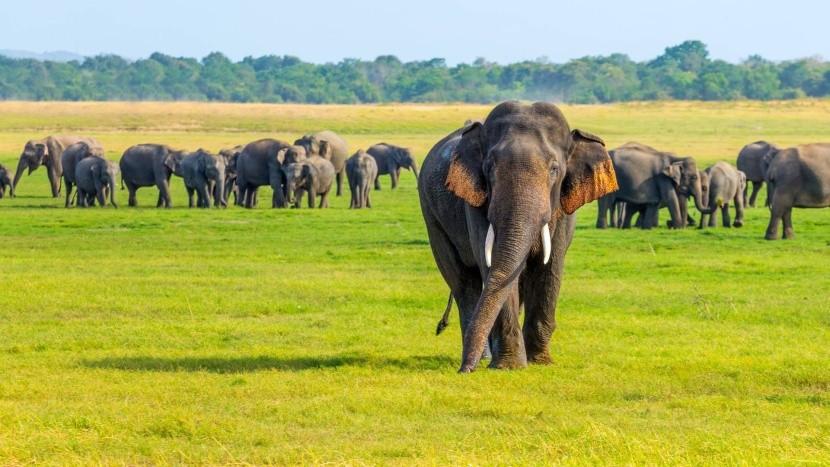 Divoké slony na Srí Lanke