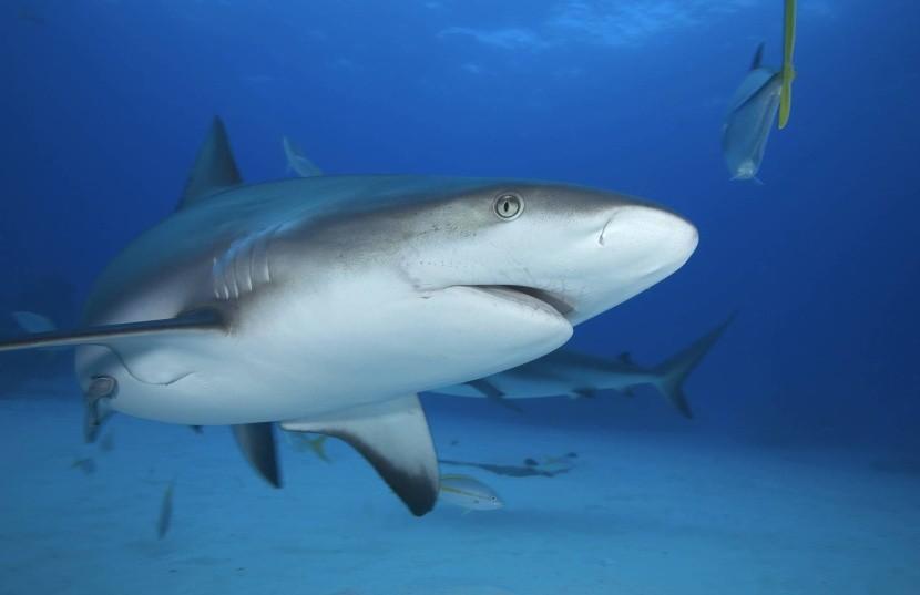 Útesový sivý žralok
