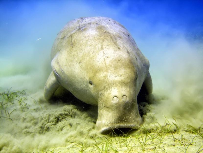 Dugong spásajúcí morskú trávu