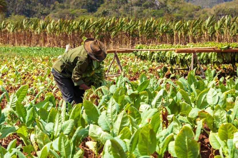 Tabaková plantáž na Kube