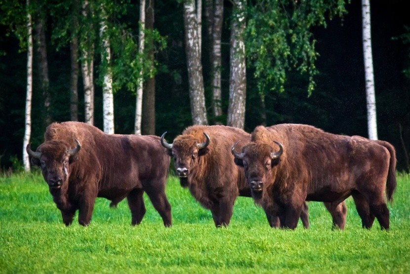 Bizóny v Bialowiežskom pralese