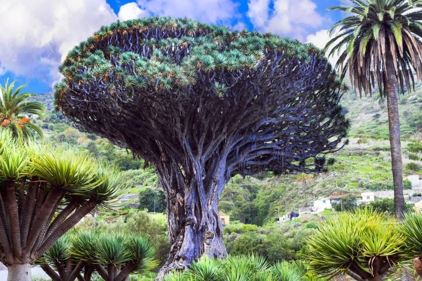 Dračí strom v Icod de los Vinos