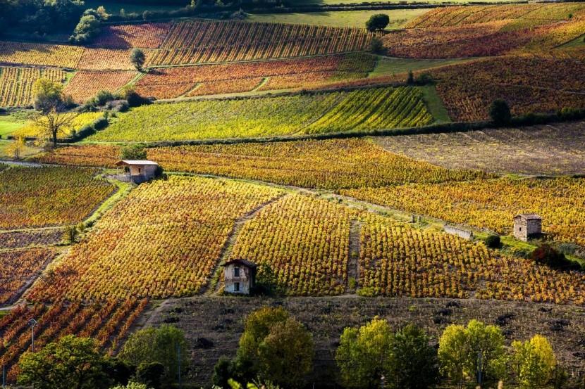 Vinice v Beaujolais