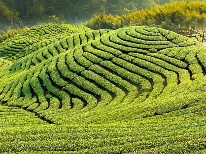 Čajovníkové plantáže, Čína