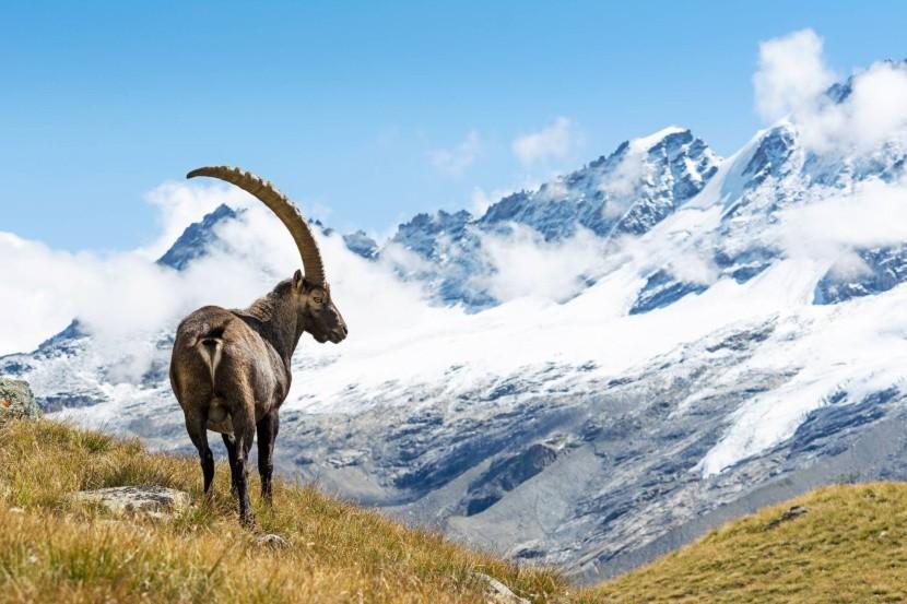Kozorožec vrchovský v NP Gran Paradiso