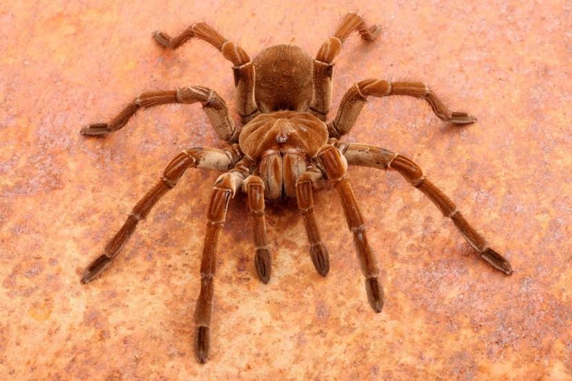 Najväčší pavúk sveta
