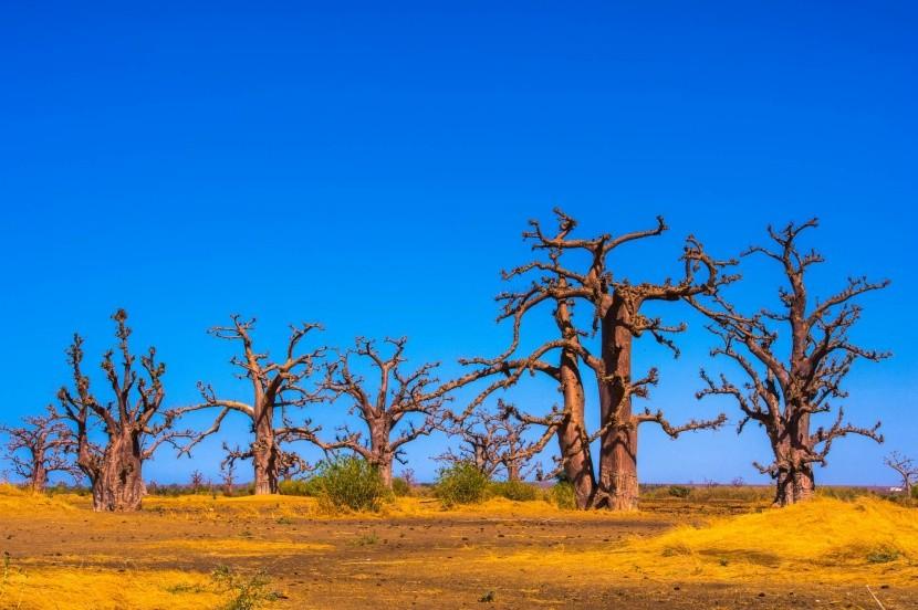Baobaby v Senegale
