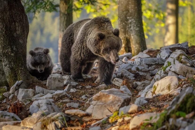 Pozorovanie medveďov v Kočevje