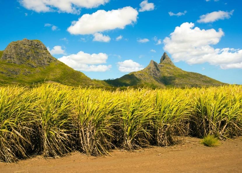 Plantáže cukrovej trstiny na Mauríciu