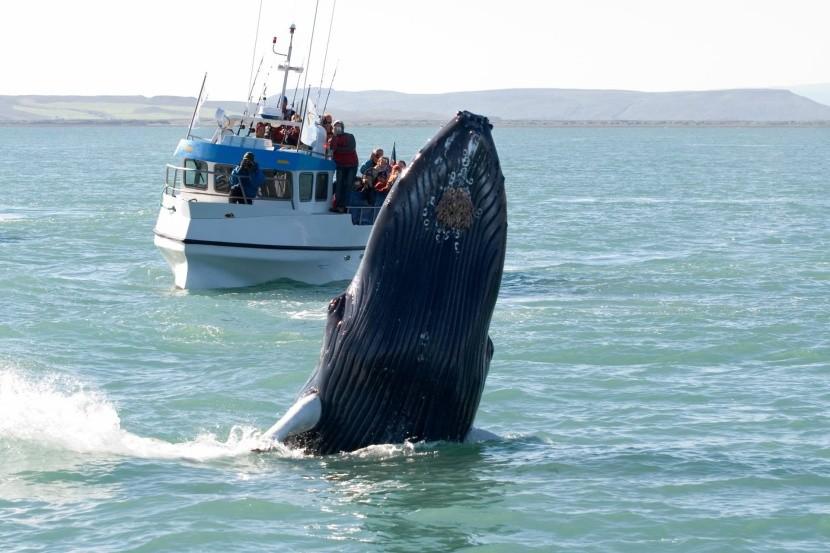 Pozorvanie veľrýb na Islande