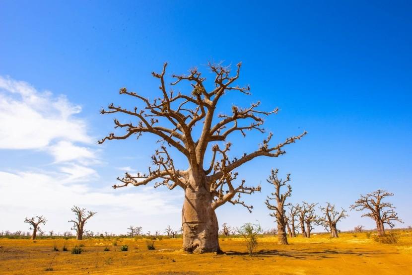 Senegalské baobaby
