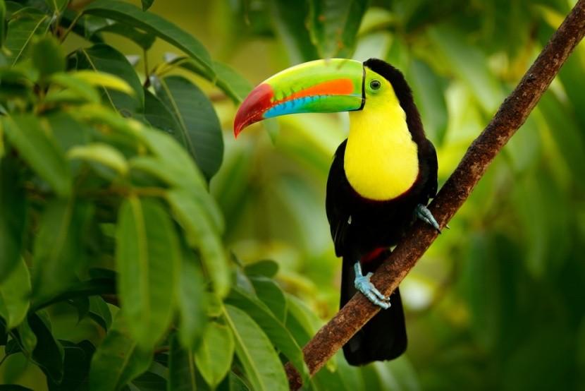 Roztomilý tukan v Kostarike