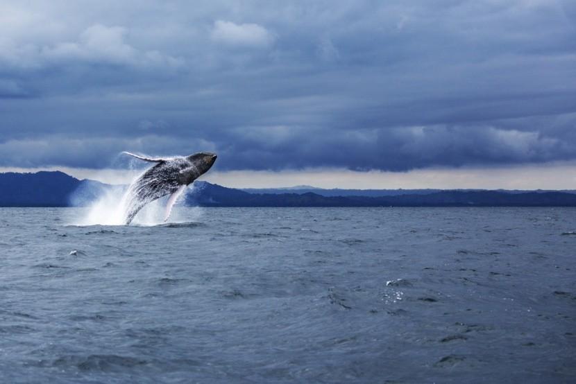 Veľrybie mámenie