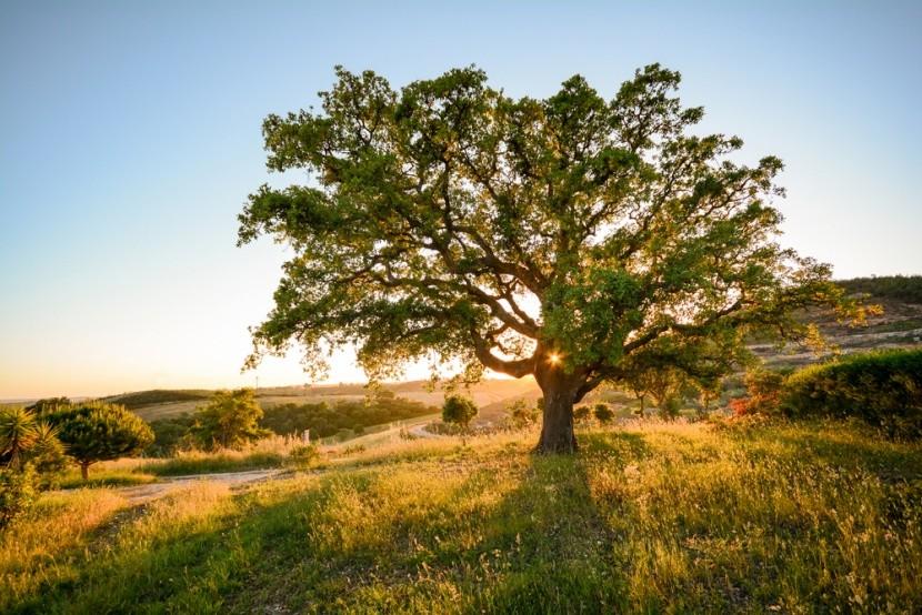 Korkový dub v portugalskom Alenteju