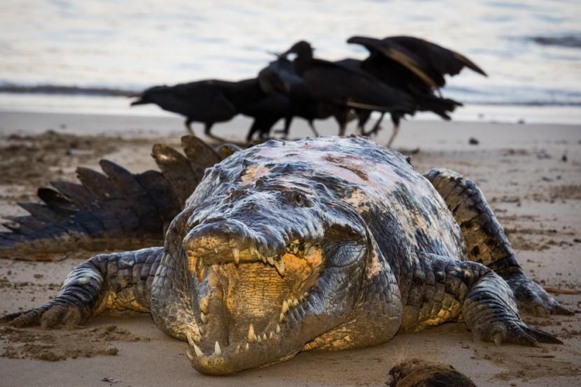 Aligátor Tito žije v parku Coiba v Paname