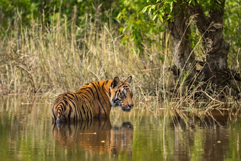 Národný park Bandhavgarh v Indii